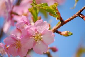 菜園_桜の開花