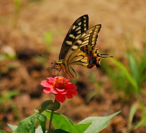 アゲハチョウと百日草